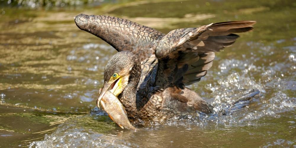 La crise climatique et les cormorans accentuent la menace qui pèse sur la truite et l'ombre commun