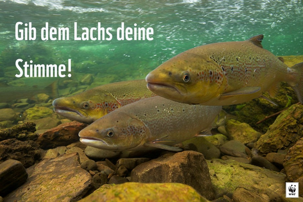 Petition: Lachs zurück in Basel!