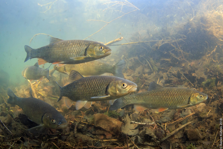 Alet - ein Überlebenskünstler wird Fisch des Jahres 2021