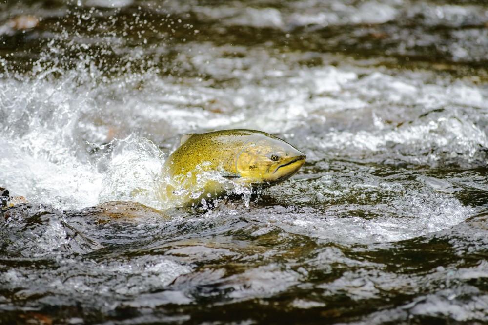 Gesunde Flüsse für die Zukunft des Wildlachses